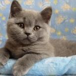Котята британской породы, Санкт-Петербург