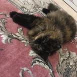 Кошки Длинношерстные Британские, Санкт-Петербург