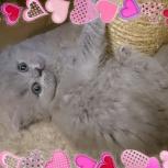 Английские длинношерстные котята (Хайленд), Санкт-Петербург